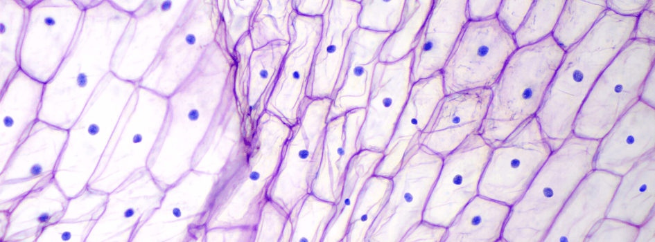 Microscope image of cells stained pink membranes and blue nucleus
